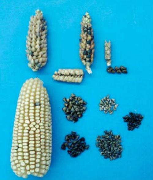teocintle maiz comparativo