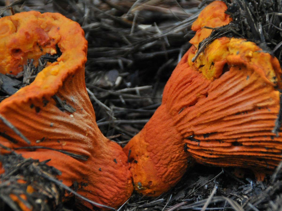 tipos de hongos no comestibles en mexico