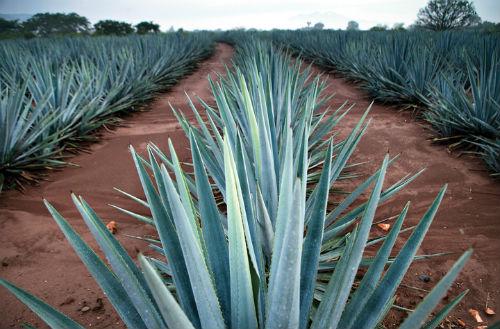 como saber buen tequila calidad catar