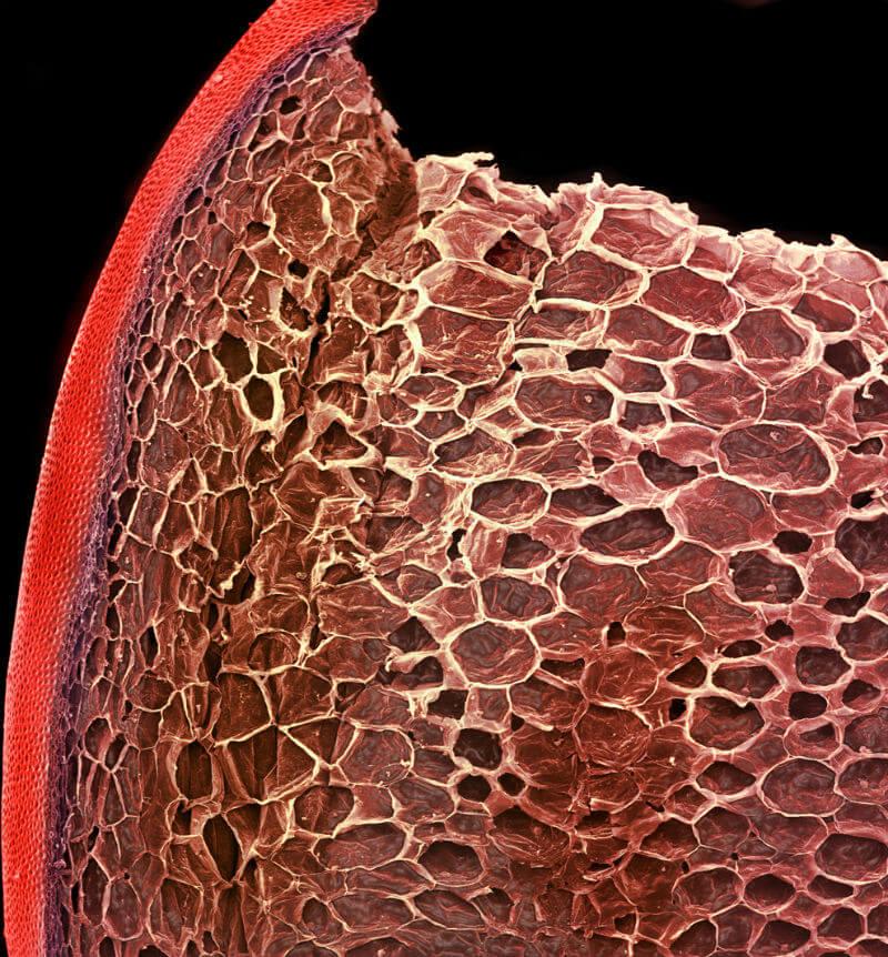 jitomate imagenes microscopio