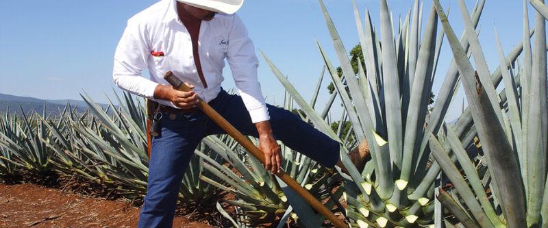 oficios mexicanos jimador