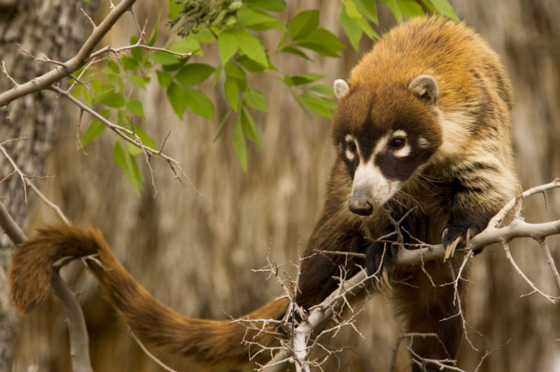 coati mexico animales