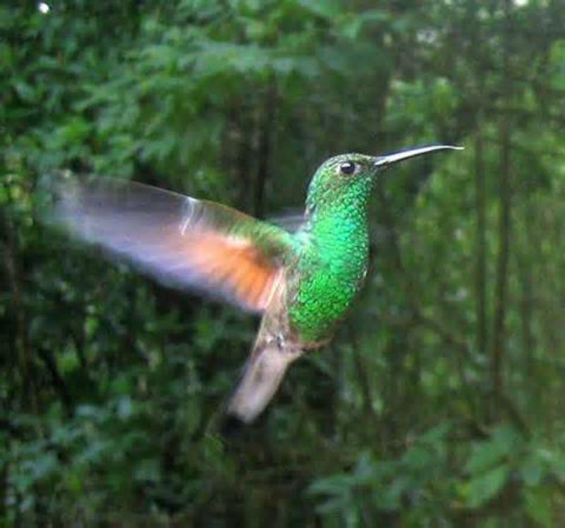 colibri oaxaqueno animales mexico
