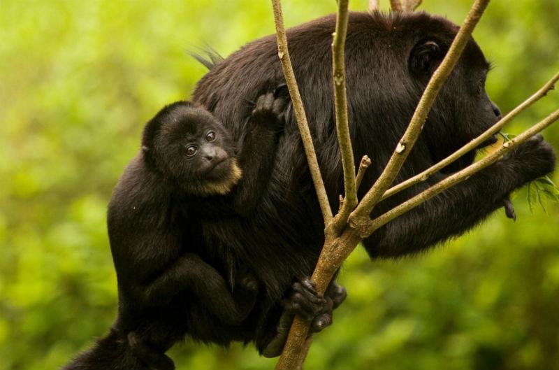 mono aullador mexico animales