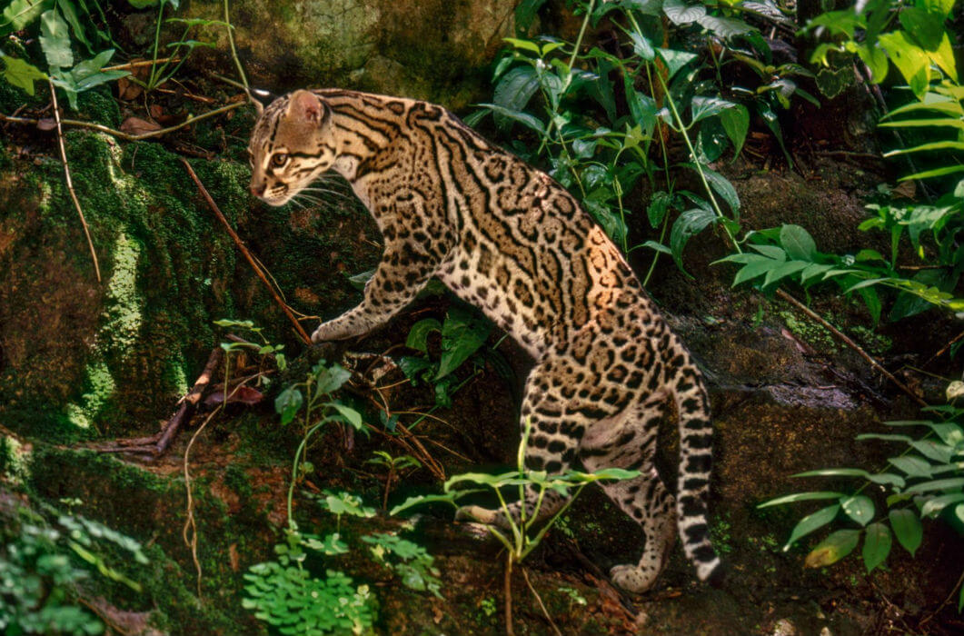 ocelote mexico animales