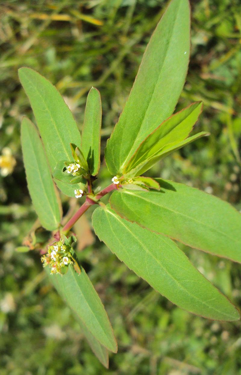 plantas medicinales de la milpa