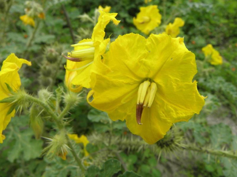 plantas medicinales milpa