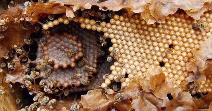 miel-melipona-abejas-panal