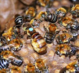 miel melipona maya propiedades medicinales