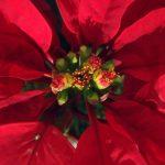 Cuitlaxóchitl: la flor de Anáhuac que sedujo al mundo