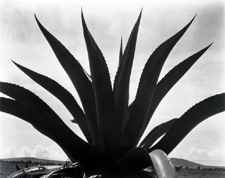 edward-weston-fotografo-maguey