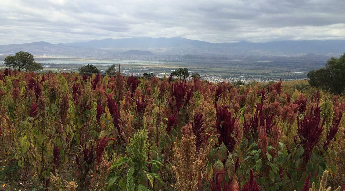 amaranto-mexico-cultivo-alimento