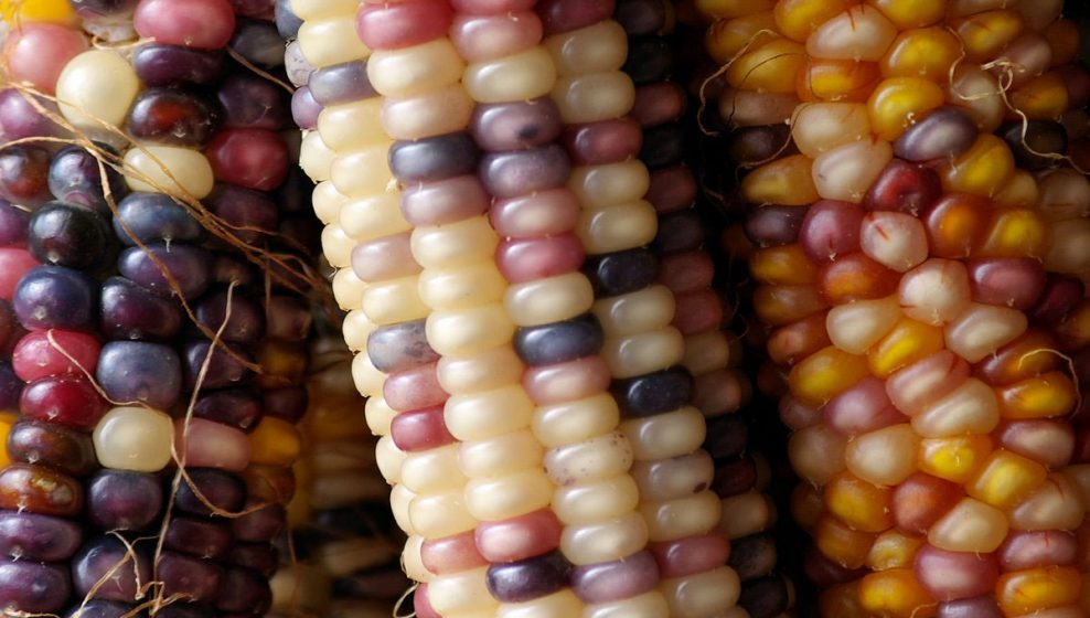 maiz-nativo-mexicano-mejor-que-transgenico