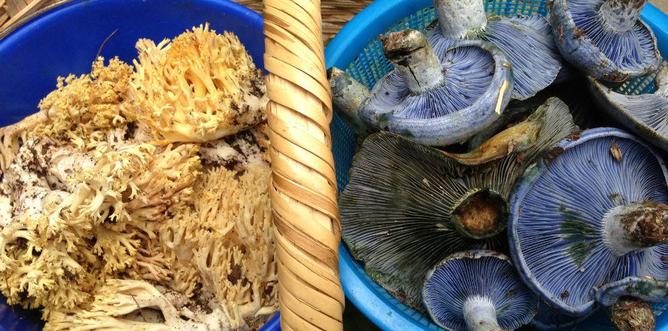 hongos-mexicanos-oaxaquenos-oaxaca-sagrados-magicos-comestibles-azules-etnomicologico
