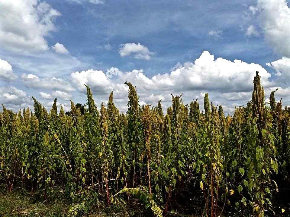 mexico-amaranto-beneficios-seguridad-alimentaria-congreso-inetrnacional