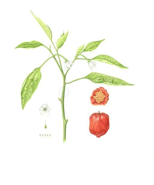 chile-beneficios-comer-cocinar-salsa-picante-habanero