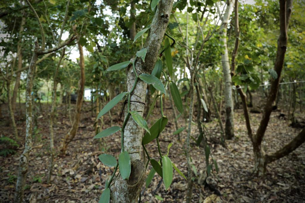 vainilla-mexicana-peligro-extincion-papantla-denominacion-origen