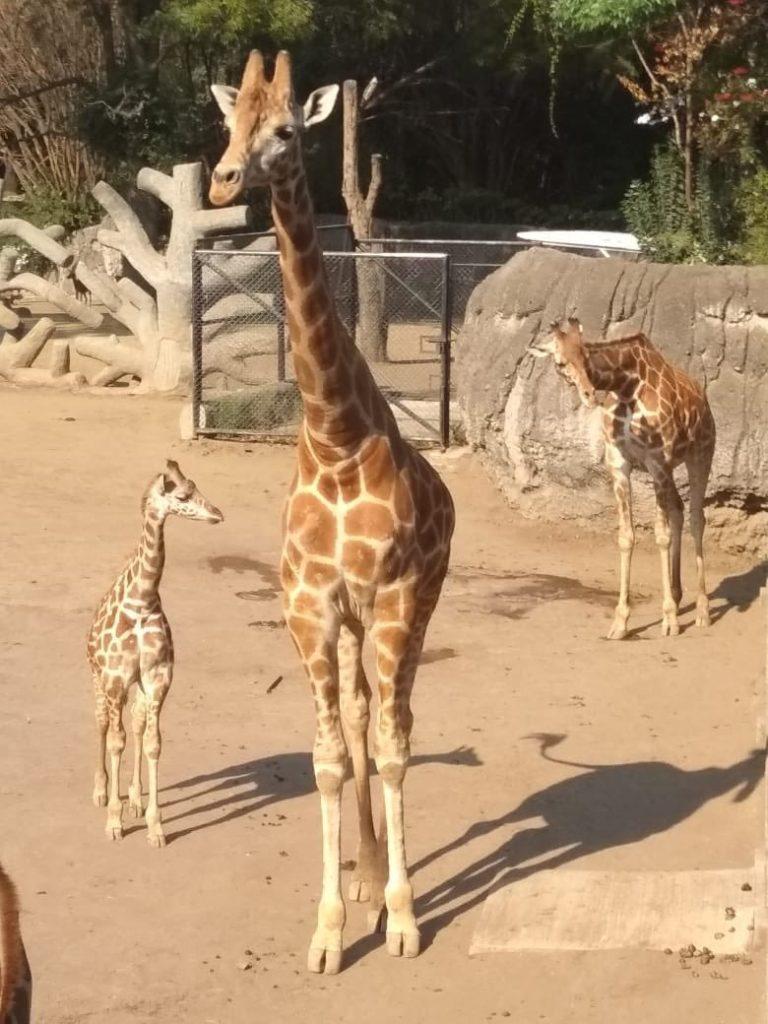 jirafa-bebe-chapultepec-nombre-nombrar