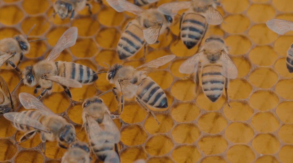 abejas-mexicanas-miel-polinizacion-crisis-ambiental-video
