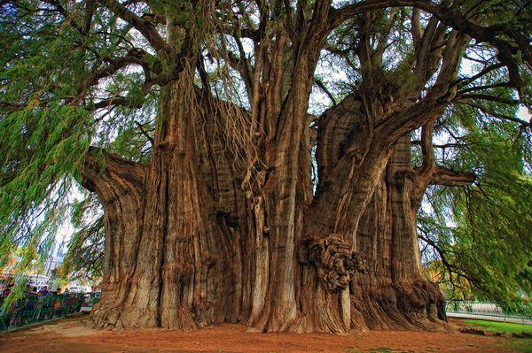 arbol-tule-oaxaca-mas-ancho-mundo-leyenda-mito