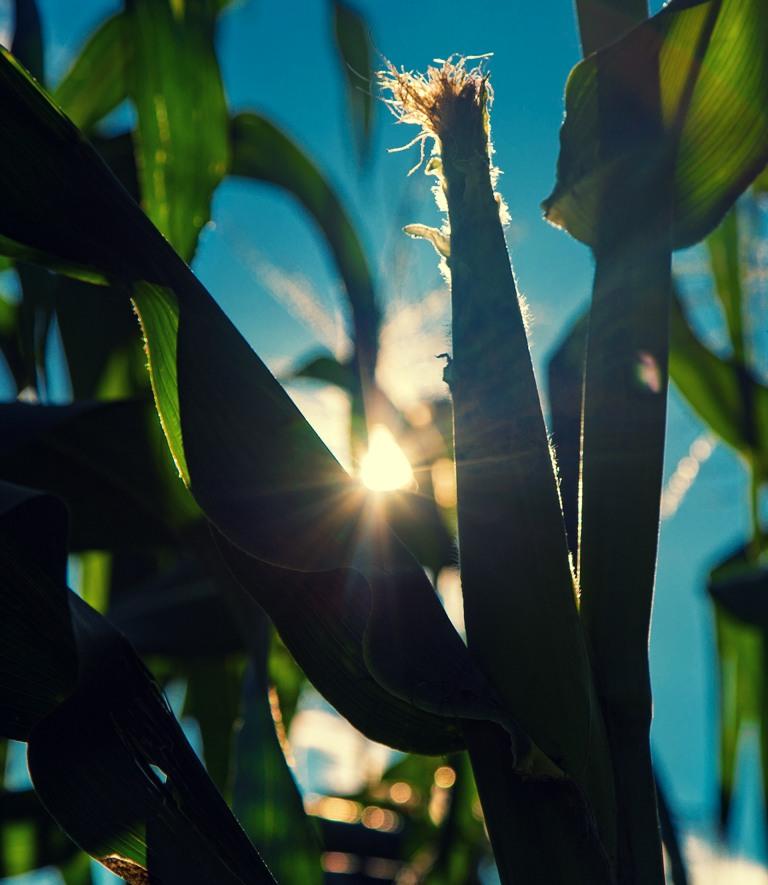 milpa-casera-sembrar-maiz