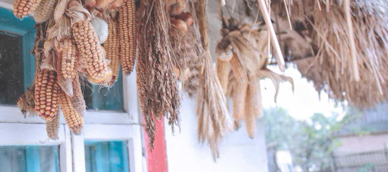 maíz-milpa-maíz mexicano