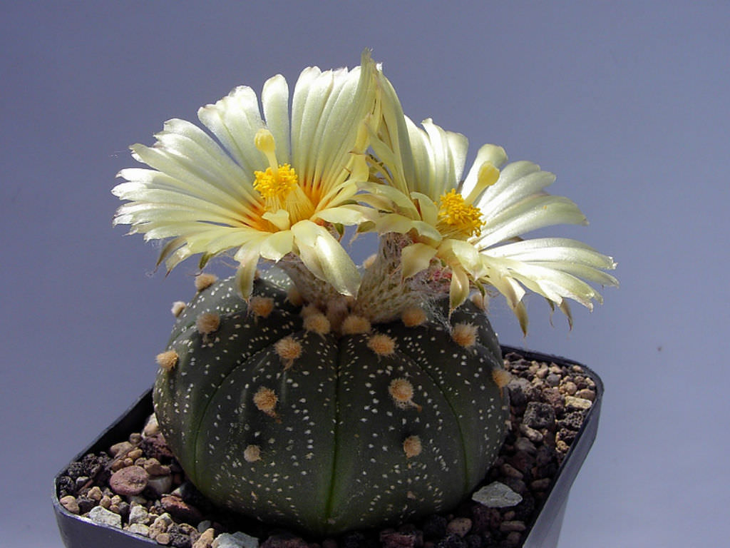 plantas-mexicanas-medicinales-bellas-raras-mexico