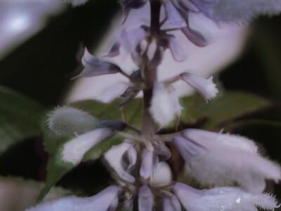 salvia-divinorum-planta-sagrada-medicinal-mexicana