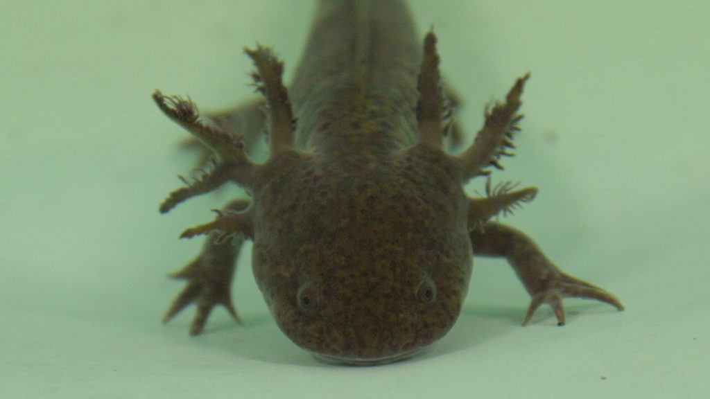 ajolote-axolote-animal