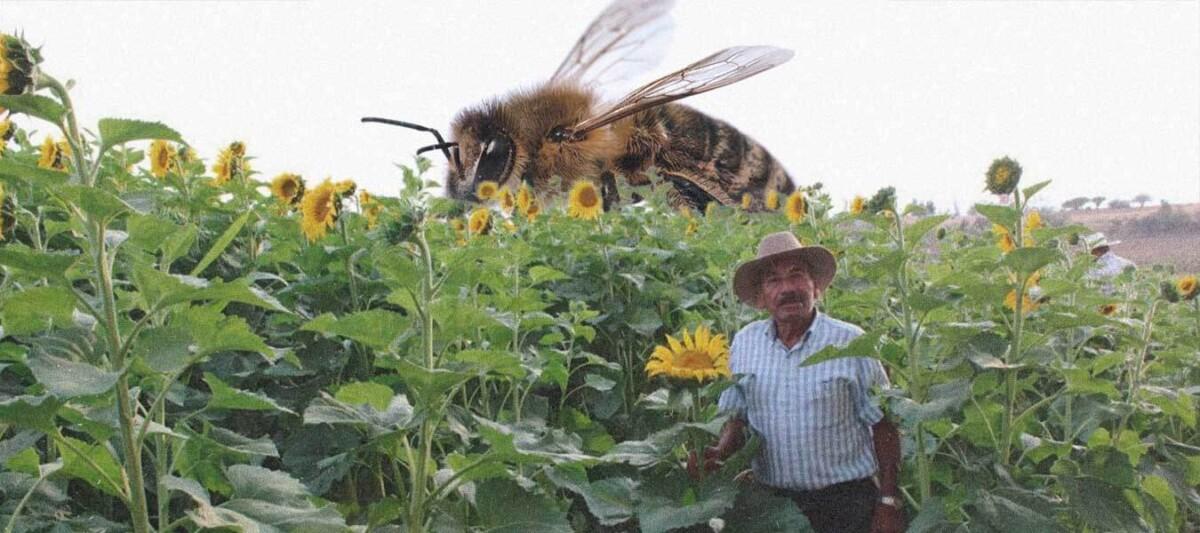 campo de girasoles, salvar abejas, campo oaxaca