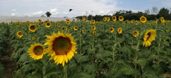 girasoles-oaxaca-rescate-abejas-plantio-miel