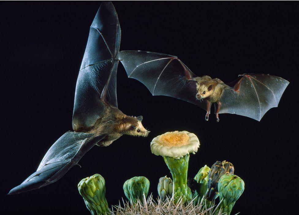 murcielagos-mexicanos-peligro-extincion-importancia-ecosistema