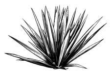 mezcal-dibujo-agave