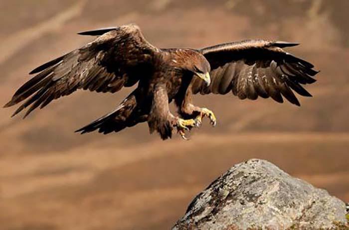 aguila-real-mexico-peligro-extincion-importancia-simbolo-volando