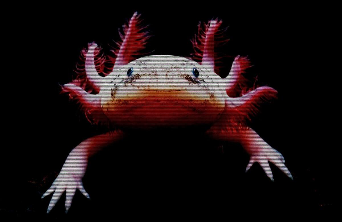 axolote-santuario-albergue-unam-mexico-endemico-importancia
