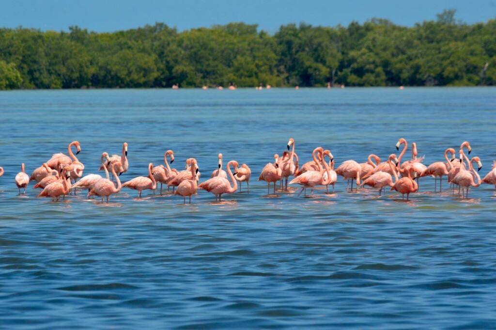 flamencos-flamingos-holbox-turismo-viaje-tips
