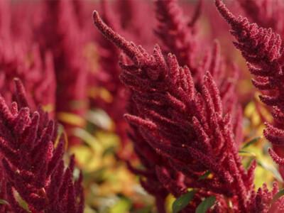 amaranto-planta-alimento-mexico